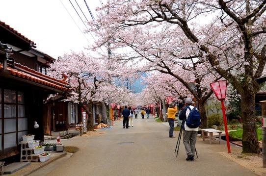 がいせん桜3776.jpg