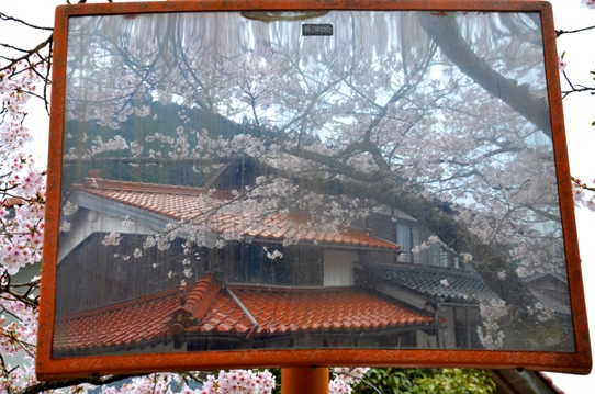 がいせん桜3782.jpg