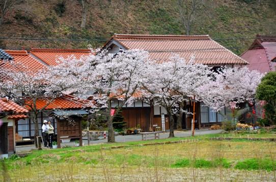 がいせん桜3794.jpg