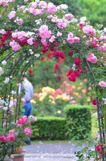 とっとり花回廊のバラ園2457.jpg