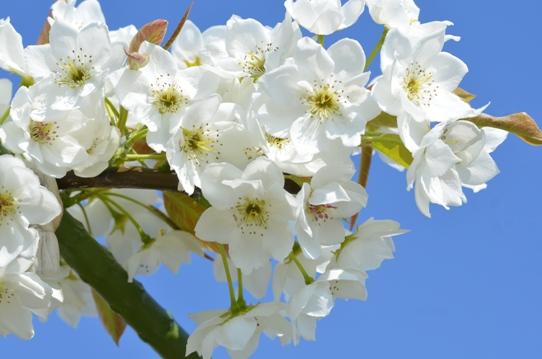 なしの花1122.jpg