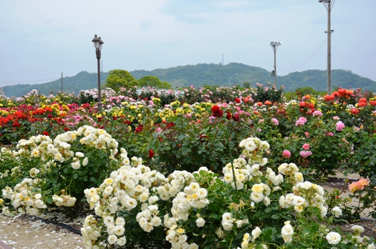 よしうみバラ公園4764.jpg