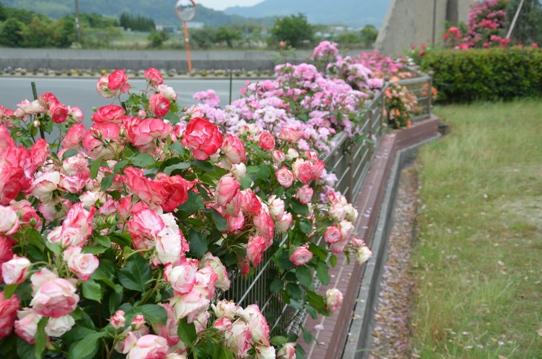 よしうみバラ公園4790.jpg