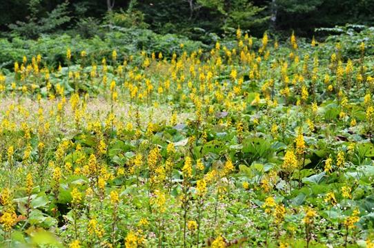 オタカラコウ湿原2951.jpg
