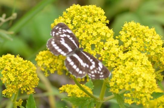 オミナエシと蝶6707.jpg