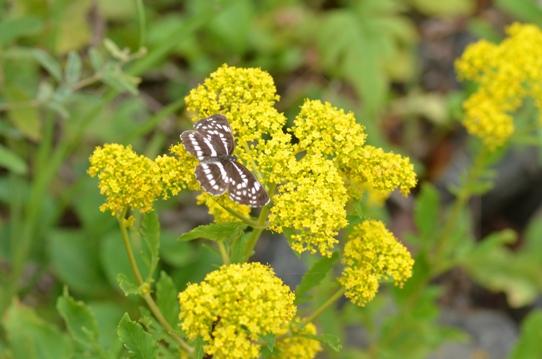 オミナエシと蝶6708.jpg
