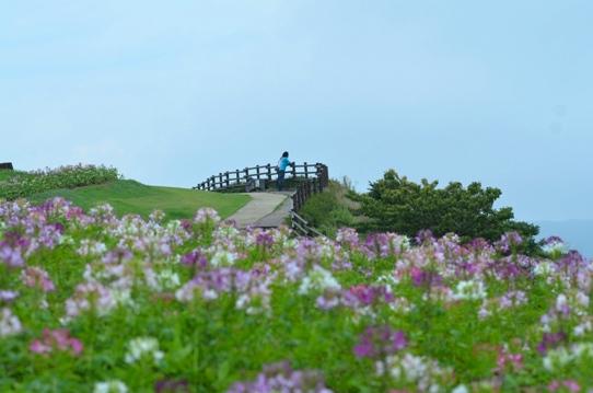 クレオメの咲く丘にて5401.jpg