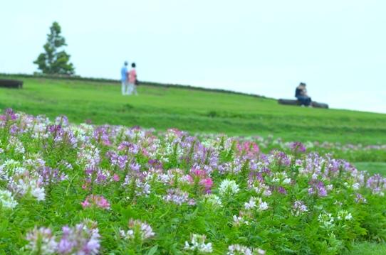クレオメの咲く丘にて5418.jpg