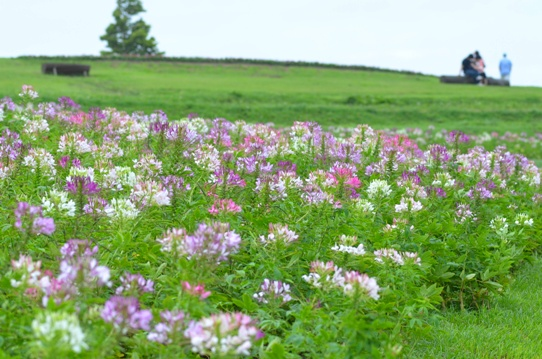クレオメの咲く丘にて5420.jpg