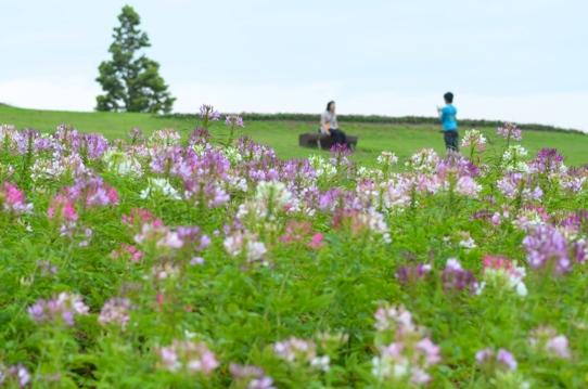 クレオメの咲く丘にて5431.jpg
