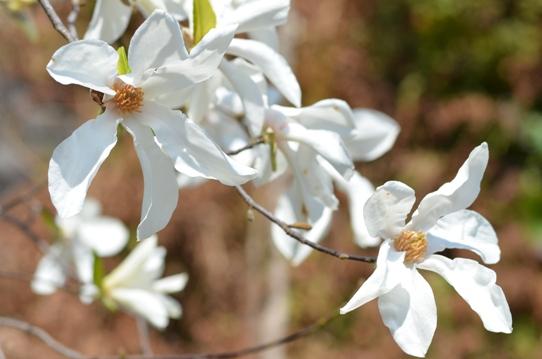 コブシの花1747.jpg