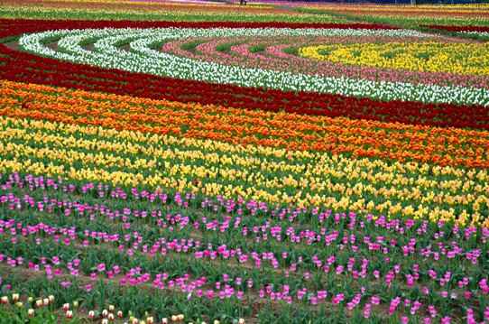 チューリップで描く虹4218.jpg