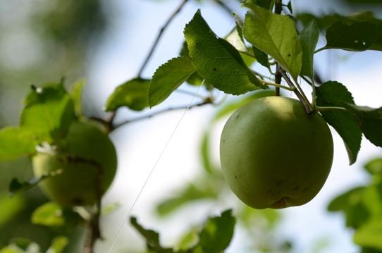 ニュートンのリンゴ6204.jpg