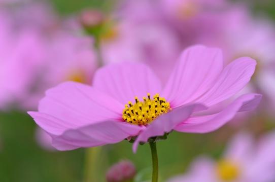 ピンクのコスモス7296.jpg