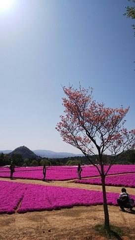 世羅芝桜0057_HORIZON.jpg