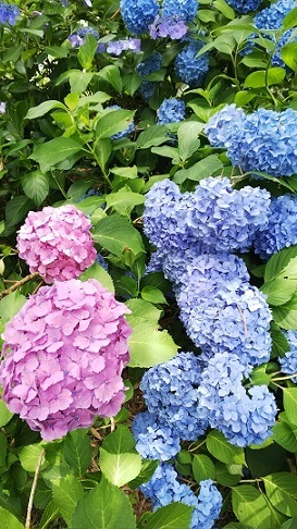 備北丘陵公園の紫陽花0510.jpg