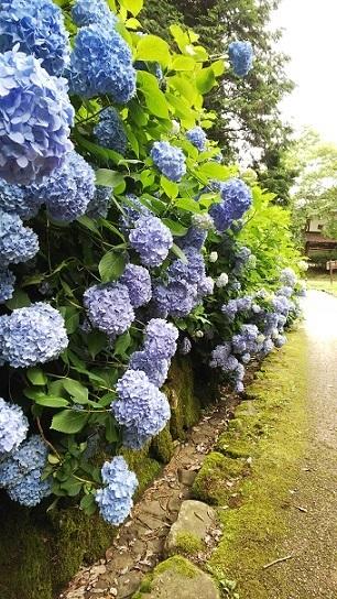備北丘陵公園の紫陽花0523.jpg