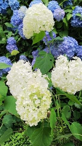 備北丘陵公園の紫陽花0528.jpg