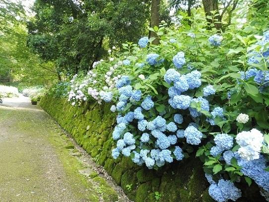 備北丘陵公園の紫陽花1340024.jpg