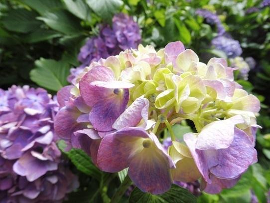 備北丘陵公園の紫陽花1340036.jpg