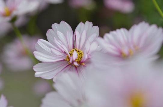 八重咲きコスモス7357.jpg