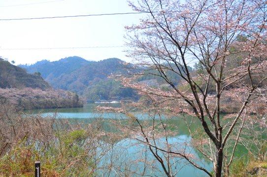 北房ダムの桜0177.jpg