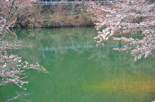 北房ダムの桜0178.jpg