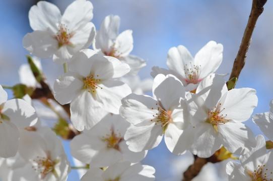 半田山の桜1833.jpg