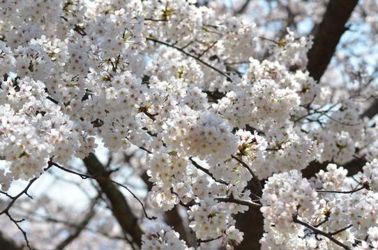 半田山の桜1848.jpg