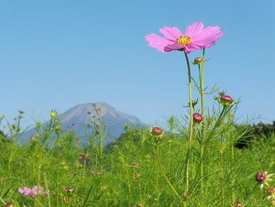 大山とコスモス1300376.jpg
