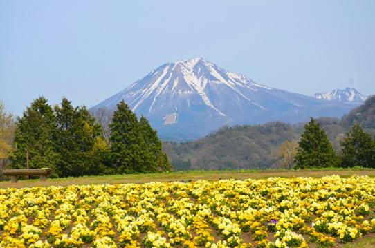 大山とビオラ0658.jpg