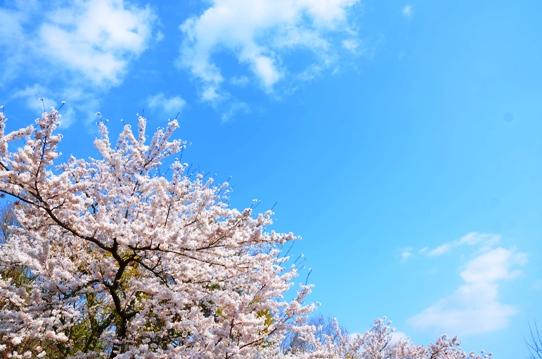 天上山の空と桜1187.jpg