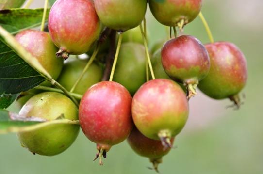 姫リンゴの実3359.jpg