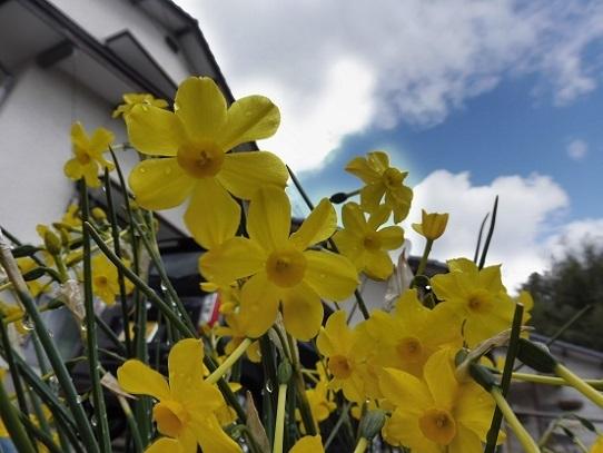 庭のスイセン1210013.jpg