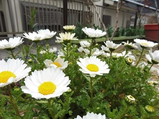 庭のノースポール1210007.jpg