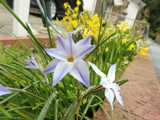 庭のハナニラ1210015.jpg