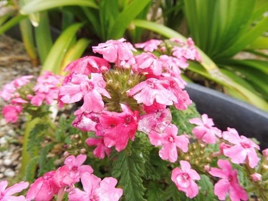 庭のバーベナ1210008.jpg