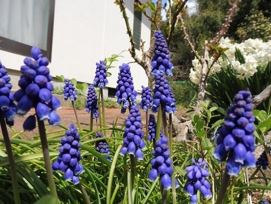 庭のムスカリ1210003.jpg