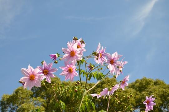 庭の皇帝ダリア4893.jpg