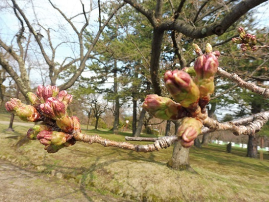 弘前城の桜1220137.jpg