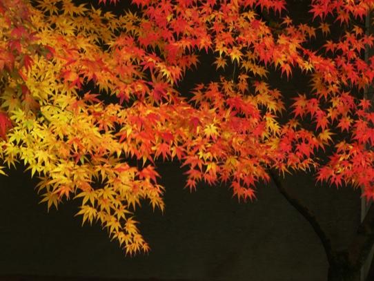 後楽園の紅葉1050300.jpg