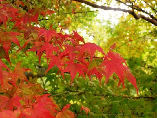 後楽園の紅葉1050365.jpg