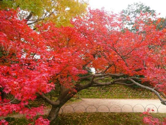 後楽園の紅葉1050409.jpg