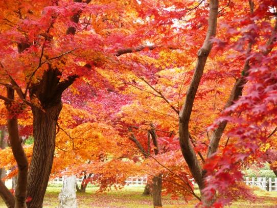 後楽園の紅葉1050428.jpg