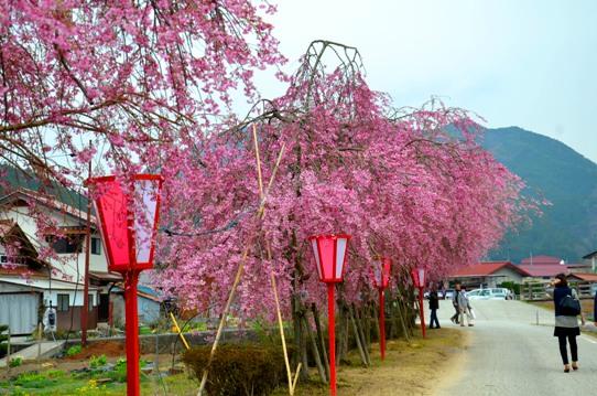 新庄の垂れ桜3789.jpg