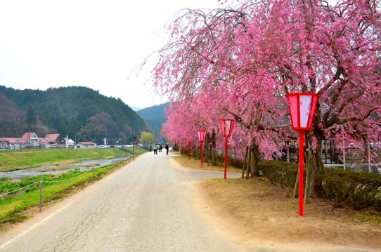 新庄の垂れ桜3790.jpg