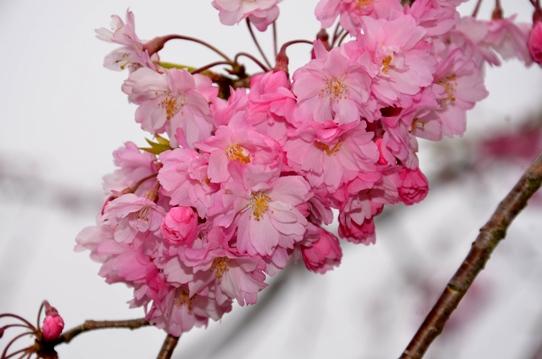 新庄の垂れ桜3795.jpg