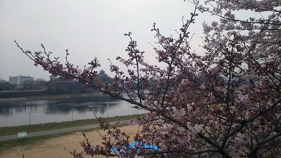旭川の桜0224.jpg