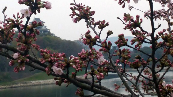 旭川の桜0225.jpg