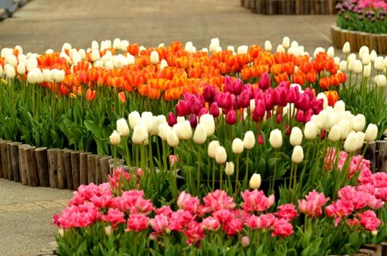 春爛漫の花回廊3829.jpg